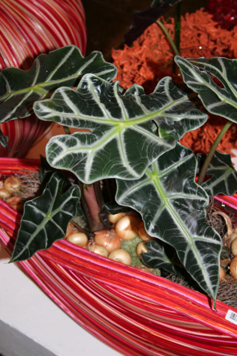 Alocasia – riktiga rysare i Halloweentider