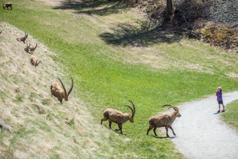 Steinbock-Beobachtung in Pontresina