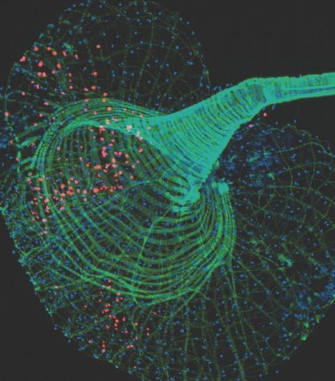 Självlysande proteiner erbjuder ny metod för att upptäcka virusinfektioner