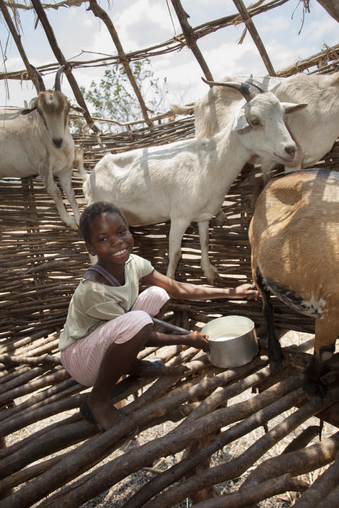 Getterna ger tillgång till mjölk