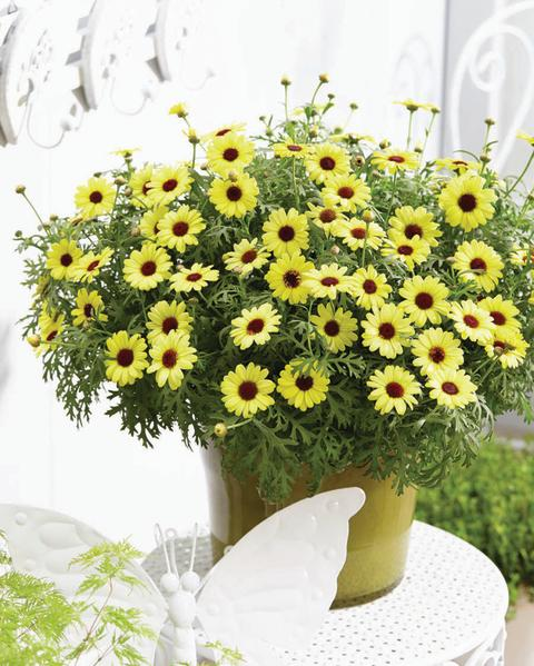 Argyranthemum-frutescens-Grandaisy-Bright-Yellow_32702_1