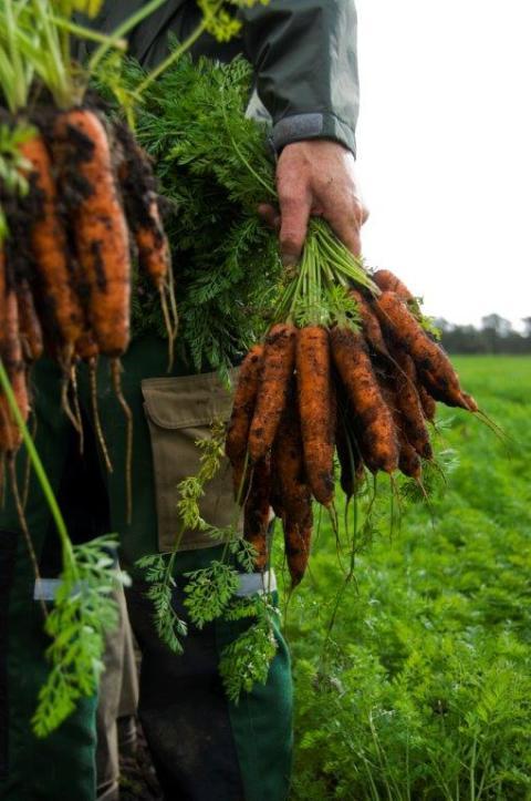 Eko-morötter