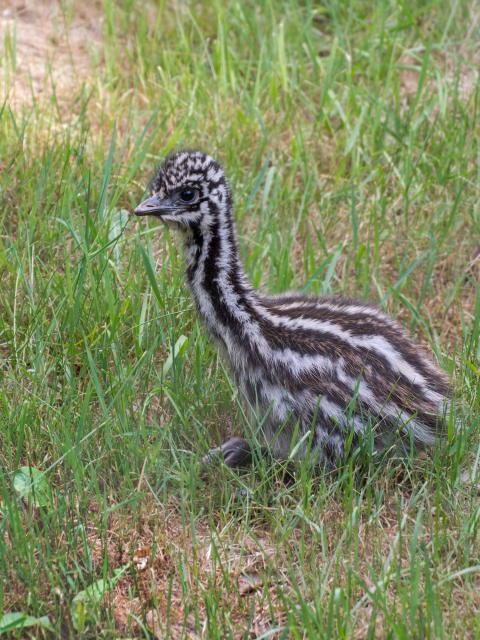 Emu-Nachwuchs