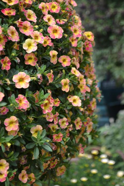 Småpetunia, Calibrachoa Chamaeleon 'Sunshine Berry'