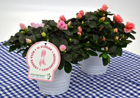 Dagens Rosa Produkt 18 oktober - en Rumsazalea från Mäster Grön