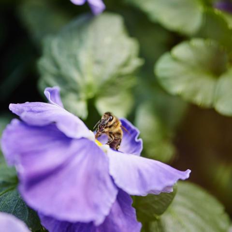 Pölyttävien hyönteisten tulevaisuus askarruttaa suomalaisia – lue Plantagenin vinkit hyönteistalkoisiin!