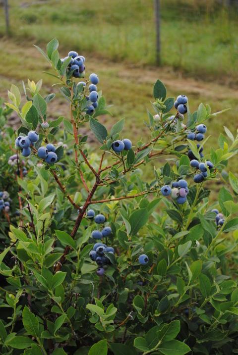 Lättplockade Amerikanska blåbär