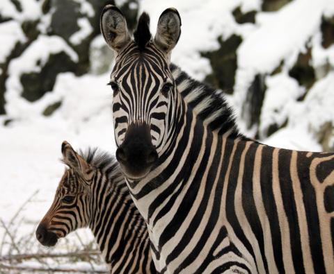 Zebraföl 2