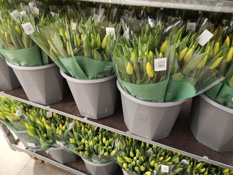Tulipaner hos J. Karlsen Gartneri