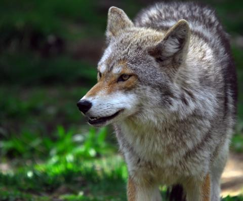 Trolig varg i nordvästra Skåne