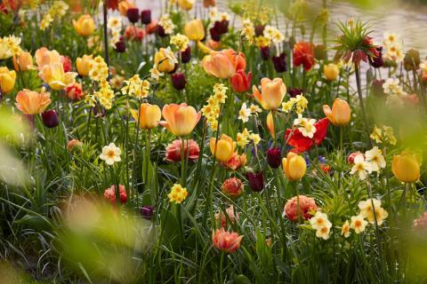 Blomsterlökspaket från Keukenhof 'Love'