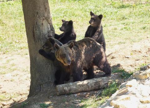 """Bärenschutzzentrum nimmt """"Problembären"""" auf"""