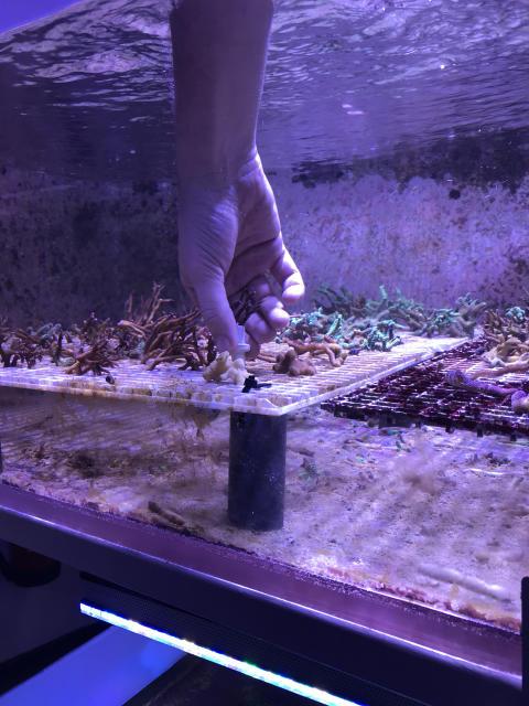 Odling av koraller på Sjöfartsmuseet Akvariet.