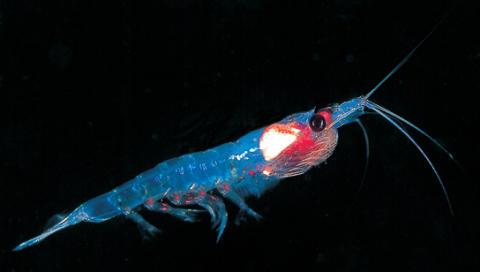 Bedre slaktekvalitet med krill