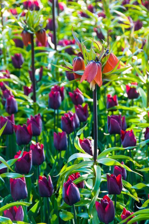 Blomsterlökspaket från Keukenhof 'Passion'