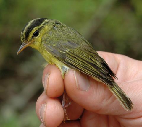 SLU-forskare upptäckte ny fågelart i Asien