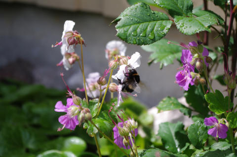 Rädda humlor och bin i vår omgivning