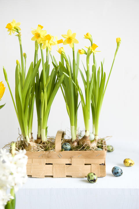 Narcissus 'Tête à Tête' till påsk.