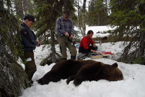 2)Rune Stokke, Peter Segerström och Einar Segerström förser en hanbjörn med GPS-halsband, väster om Kåbdalis.