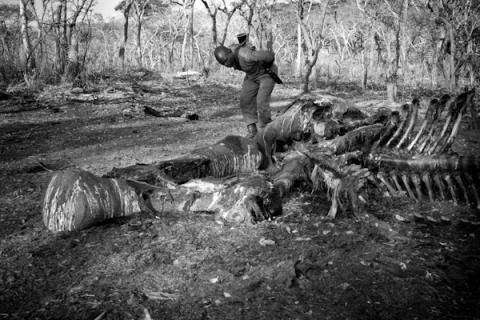 Tjuvjakt av elefant, Zimbabwe