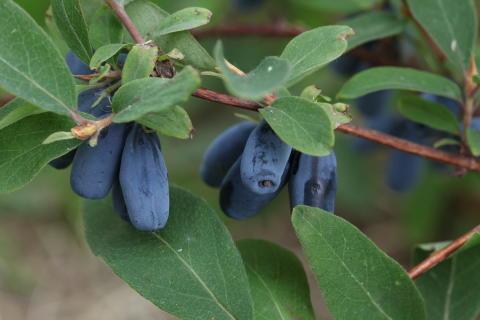Blåbärstry av sorten Bakcharsky Velikan