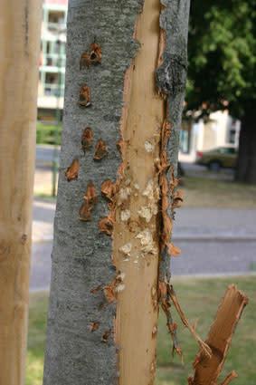 Hundar blir trädvandaler i Malmö