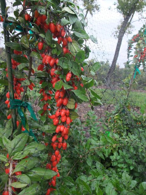Bocktörne/Gojibär, Lycium barbarum Big Lifeberry®