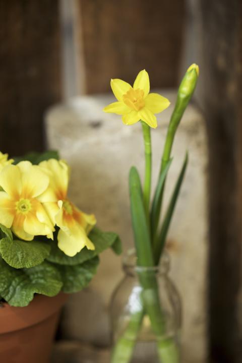 Påsklilja Primula