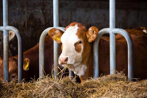 Atria rakentaa antibioottivapaata naudanlihan tuotantoa