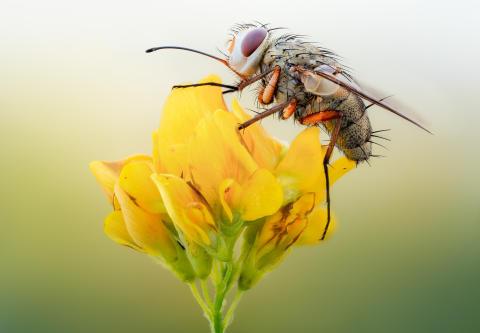 Fluga. Det finns ca 10 300 arter bland tvåvingar (flugor, myggor mfl) i Sverige.