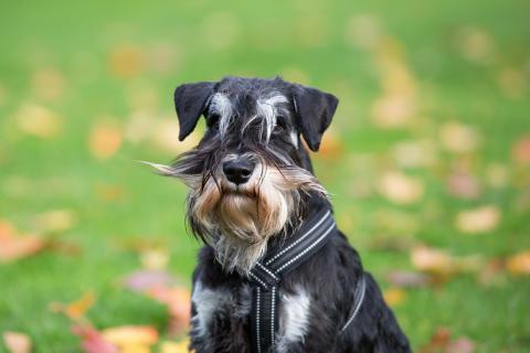 Mustaschkampen - hund