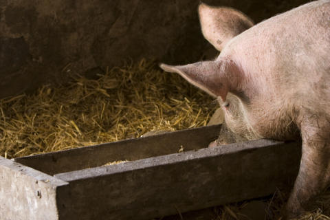 BioPlus® supplementation linked to higher swine performance on lower-energy diets
