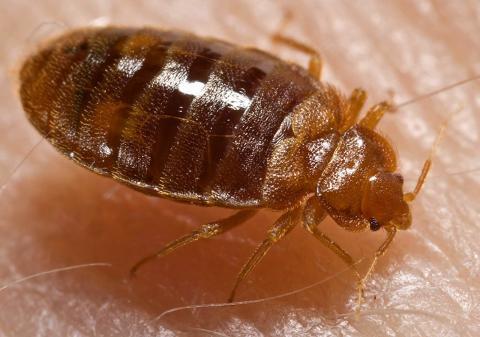 Resande ökar förekomsten av vägglöss och kackerlackor