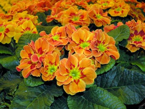 Årets aller første er vakre Primula!