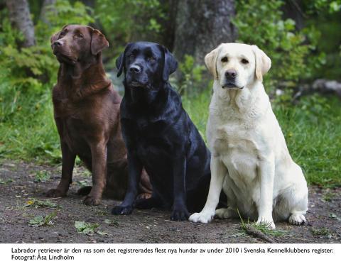 Labrador i topp - Svenska Kennelklubbens registreringsstatistik 2010