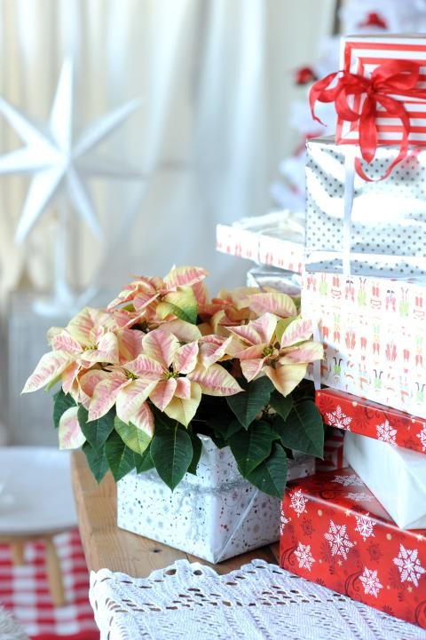 Julstjärna i presentförpackning 2012