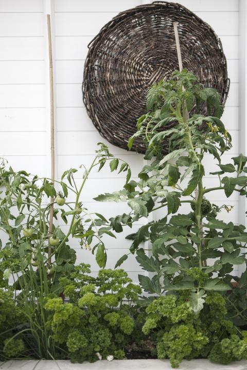 Tomater hemma hos Eva