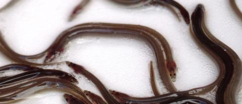 Mot hållbara lösningar för vattenkraft och ål