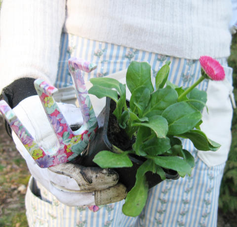 Plantering av tusensköna