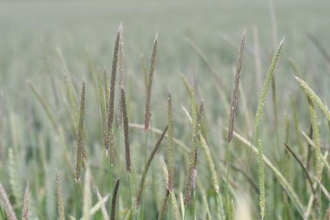 Invasiva ogräs sänker jordbrukets lönsamhet