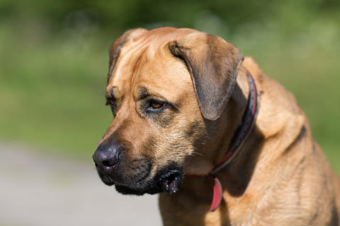 Hundfetma stort hälsoproblem – varannan hund överviktig