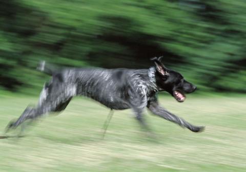 Jakthunden lever farligt – fem tips till jägaren