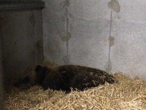 Björnungar födda i Orsa Rovdjurspark