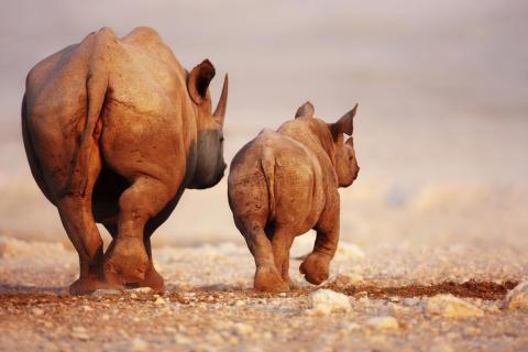 Tjuvskyttet på noshörningar ett allt större problem