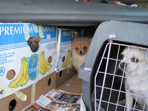 Så undviker du att köpa en smuggelhund