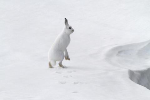 Hare i vinterpels Foto: Kristian Sivertsen, Statskog Fjelltjenesten