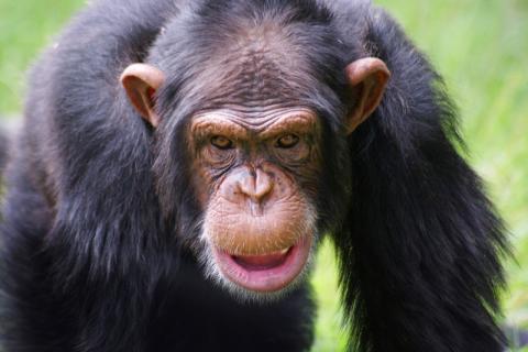 TEMA firar 40 med schimpanser och grizzlybjörnar