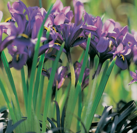 Blå snöiris, Iris histrioide