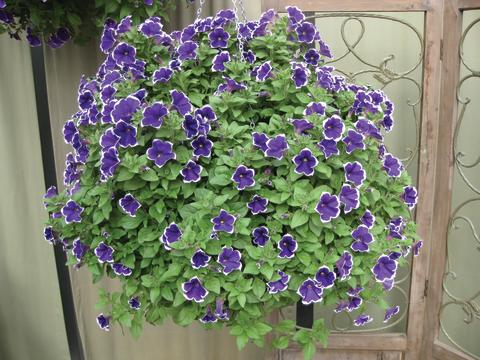 Petunia 'Rhythm & Blues'