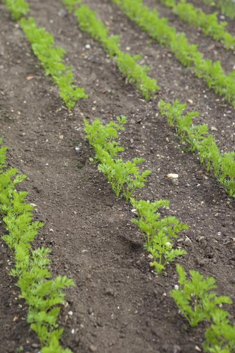 Morot, odling, friland